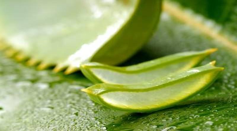 ALOJA, Aloa, aloja, prava aloja, Aloe vulgaris Lam. i Aloe vera-Barbadensis Miller