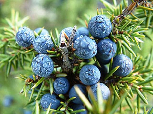 BOROVICA, Fructus-Baccae, Juniperi - Lignum, juniperi - Oleum Juniperi baccarum, Juniperus communis