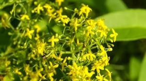 Ivanjsko cvijeće Broćika