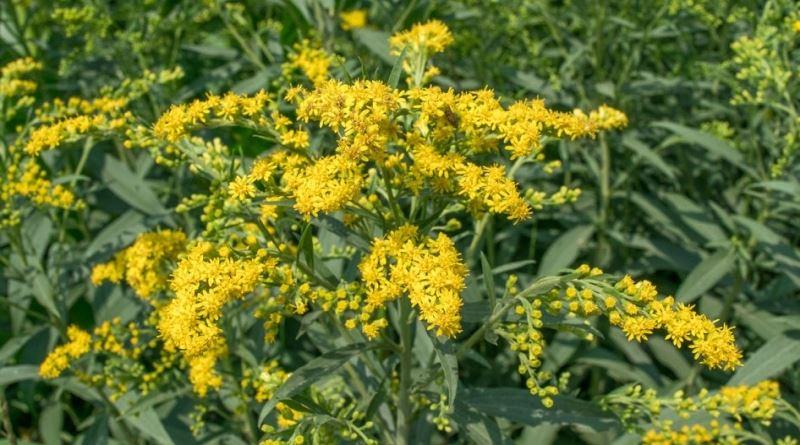 ZLATNICA, Solidago virga-aurea L., Herba et radix Sarraceniae, čelebi grana, štapika, Golden Rod, Echte Goldrute, Verge d´or, navadna zlatna rozga, Verge d´oro