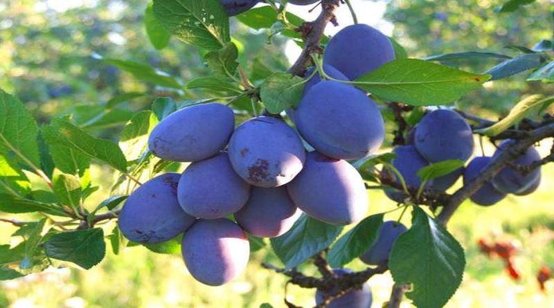ŠLJIVA, Prunus domestica L., Fructus Pruni-Pulpa Prunorum, Bistrica, modrica, modra šljiva, sliva, Plum