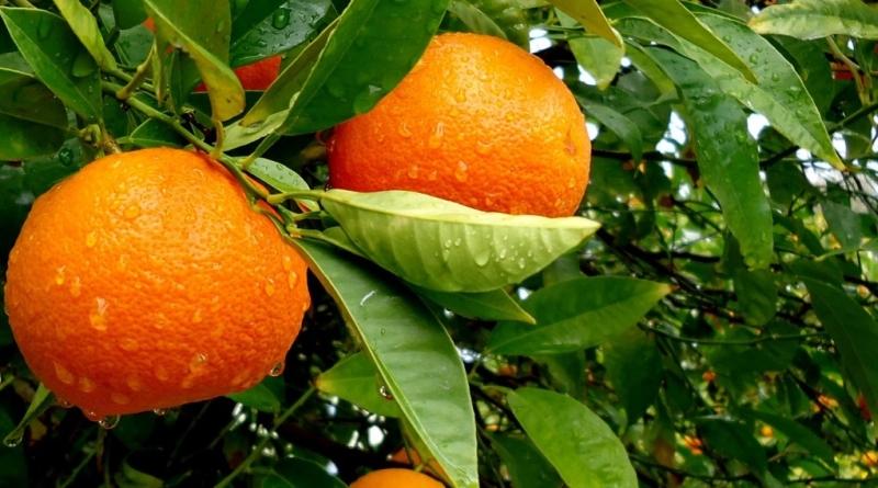 naranča drvo