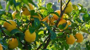 naranča stablo