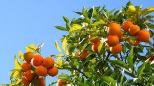 naranca stablo