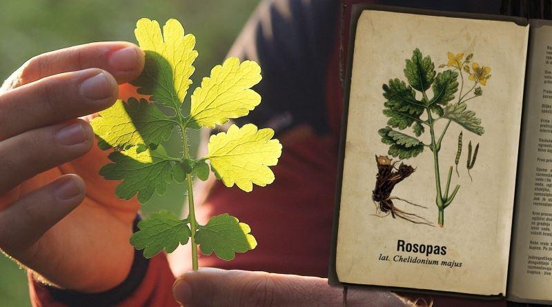 ROSOPAS, Chelidonium maius L., Herba Chelidonii maioris, Krvavo zelje, rusa, rusa trava, rosopas obični, lastavičja trava, trava od žutice, zmijino mlijeko