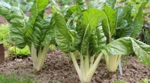 Blitva, Beta vulgaris ssp.cicla L., bietola, bleda, BLITVA, Common Beet, Lisnata blitva, Mangold, Snijbiet