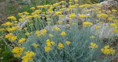 SMILJE, Helichrysum italicum, arenarium, Flos Helichrysi, Žuto smilje, cmilje, marjetica
