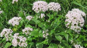 VALERIJANA, baldrijan, mačja trava, macina trava, odoljen, Valeriana officinalis