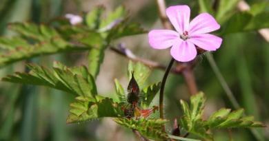 PASTIRSKA IGLICA, Iglica crvena, zdravac, djevojačko oko, Geranium robertianum L.