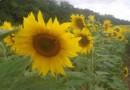 sucokret, zdravlje, sunflower, srce