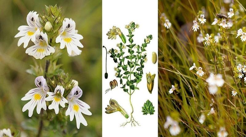 VIDICA, Euphrasia officinalis L., Herba Euphrasiae, Očanica, oči matere božje, roža Sv.Lucije, vidova trava, vidac, Eyebright