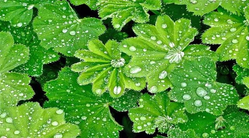 vrkuta-biljka gospin-plast