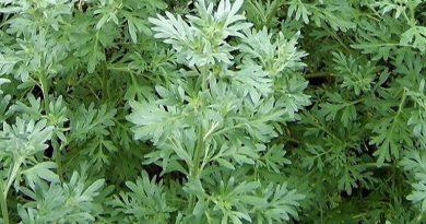 PELIN DIVLJI, Divlji pelin, crni pelin, komonika, metljika, Artemisia vulgaris L.