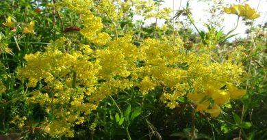 ivanjsko cvijeće