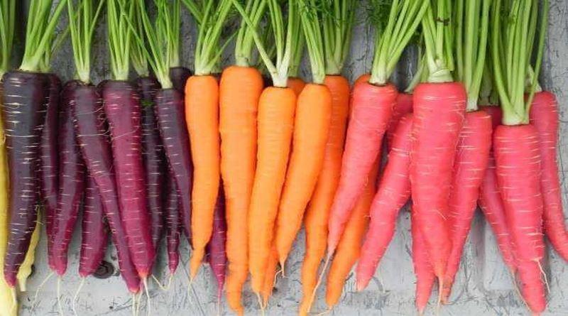 MRKVA, Koren, korenje, merlin, merlen, mrkvica, ptičnjak, stidak, žuta mrkva, Daucus carota subsp.sativus