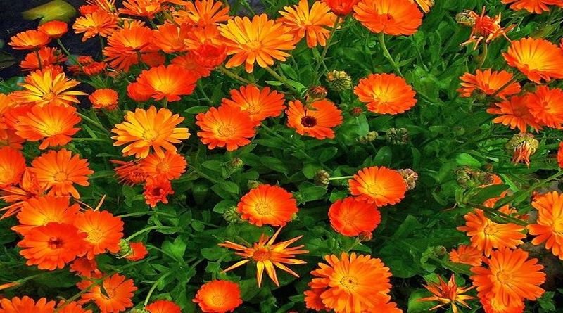 NEVEN, Rigelc, vrtni neven, smilje, zimrod, zimzelen, Calendula officinalis L.