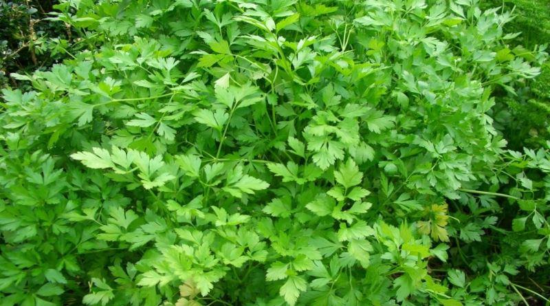 PERŠIN, Ak, ac, majdonos, petrušin, petrešin, petrusin, peršun, Petroselinum sativum L -hortense Hoffm.