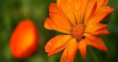 cvijet neven