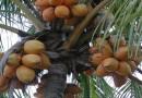 Ljekoviti kokosov orah