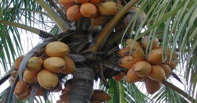 palma kokos