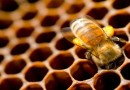 Malo detalja o pčelinjem vosku i medu