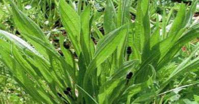 TRPUTAC ŽENSKI, Dugi trputac, kopljasta bokvica, sabljasti trputac, trpotec, ženska bokvica, Plantago lanceolata
