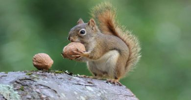 walnut orah