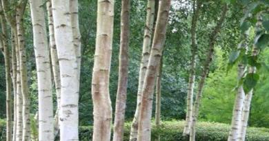 bijela breza