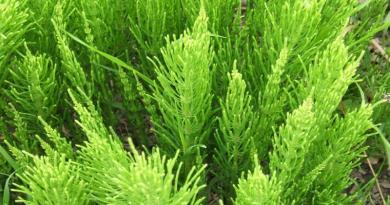PRESLICA, Barska metlica, konjogriz, konjski rep, kositrena trava, mala preslica, Equisetum arvense L.